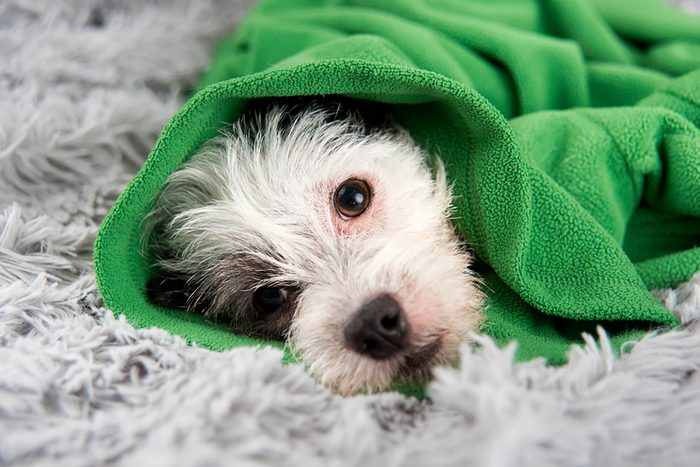 Yes-Your-Dog-Can-Catch-a-Cold-243219460-Anna-Hoychuk-Shutterstock