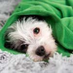 Can Dogs Catch Colds? Signs and Treatments