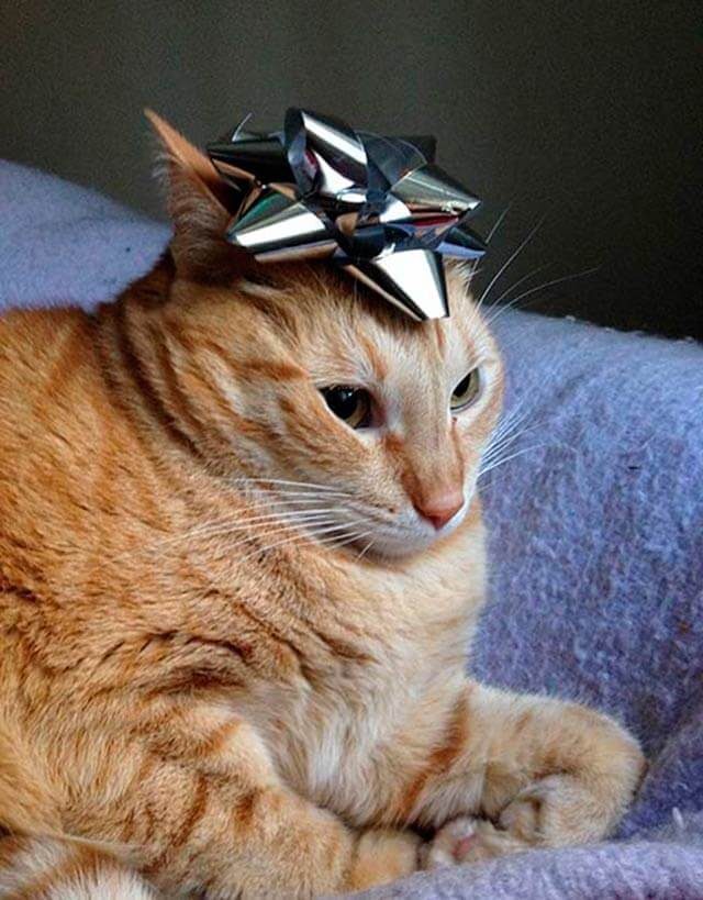 cat with a gift bow on its head
