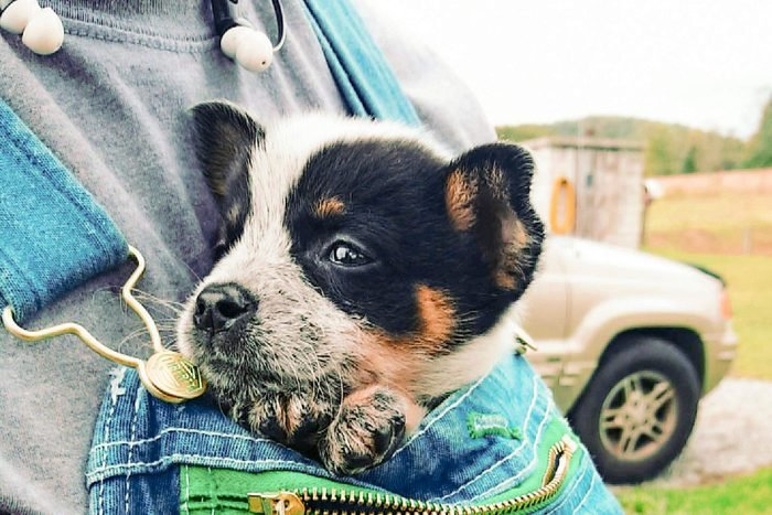 small dog sticking out the top of a person's overalls