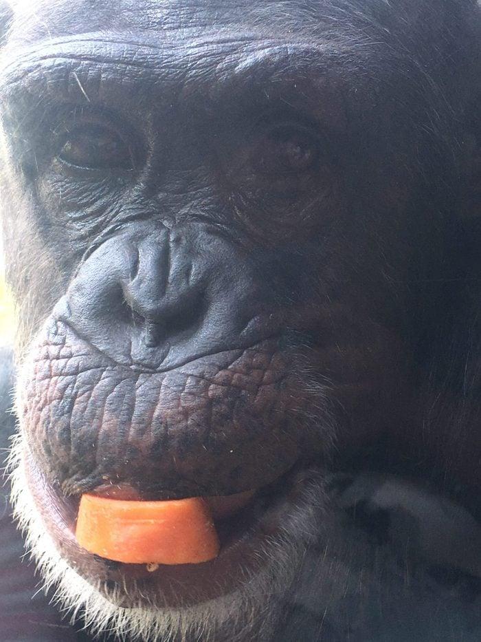 Gorilla eating a carrot slice