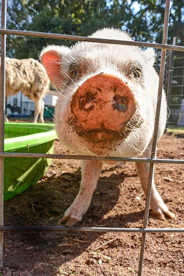 pig looking at the camera through the fence