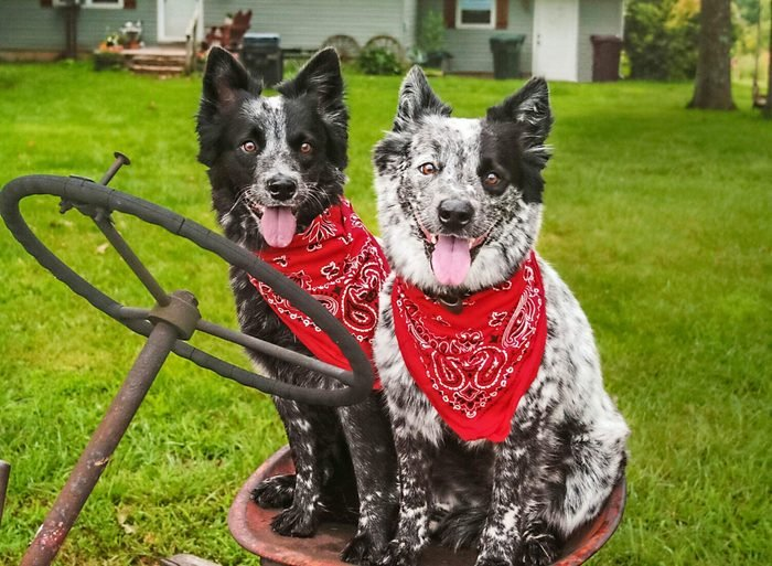 two medium sized dogs sitting on old farm equipment with matching red bandanas