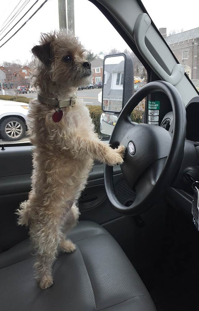 small dog standing in the drivers seat of a car with his paw on the steering wheel looking out the windshield