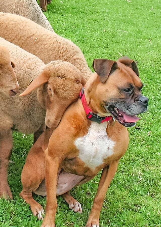 sheep snuggling a dog with its face