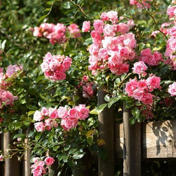 14 Master Gardeners' Secrets to Growing the Rose Garden of Your Dreams