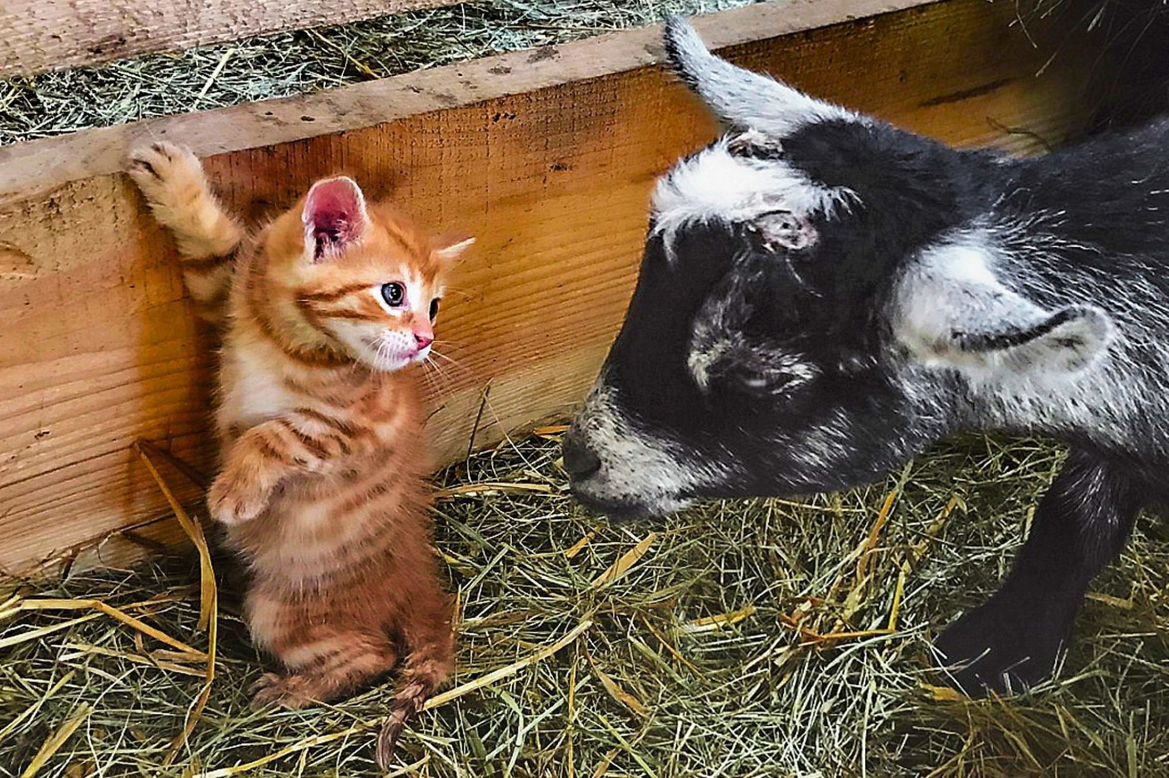 orange kitten and black and white goat eye each other closely