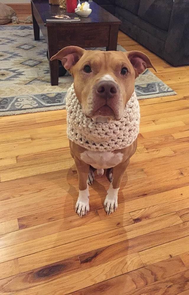dog wearing a knit neck warmer