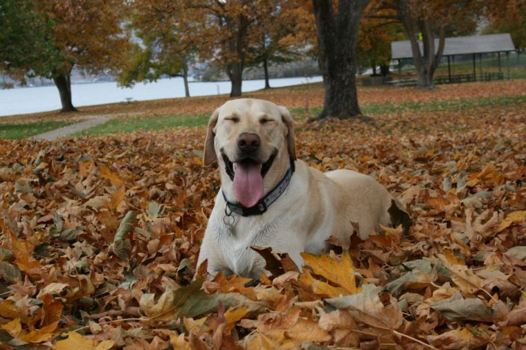 White dog sitting in a pile of leaves at the park