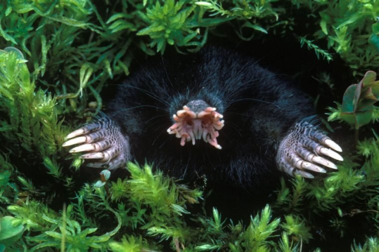 Star-nosed Mole (Condylura cristata) dead specimen, adult, head and front claws amongst moss, U.S.A.