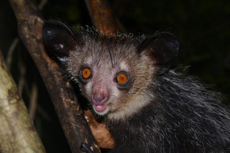Aye-aye (Daubentonia madagascariensis) in the rainforests of Masoala, Madagascar