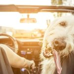 If You Live in This Country, Driving with Your Pet Could Get You in Trouble