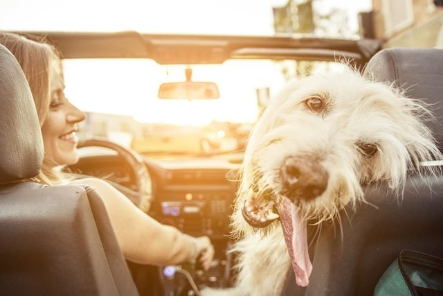 If-You-Live-In-This-Country,-It's-Illegal-to-Drive-With-Your-Pet-in-the-Car_331376426_oneinchpunch