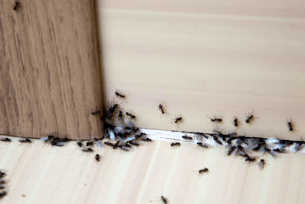 How To Get Rid Of Ants 48 Simple Solutions Reader's Digest Simple Ants In Kitchen Cabinets