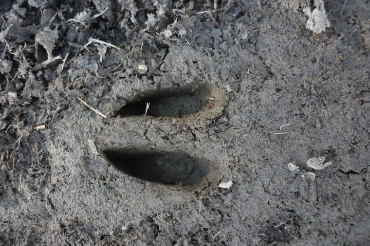 Deer-Footprint