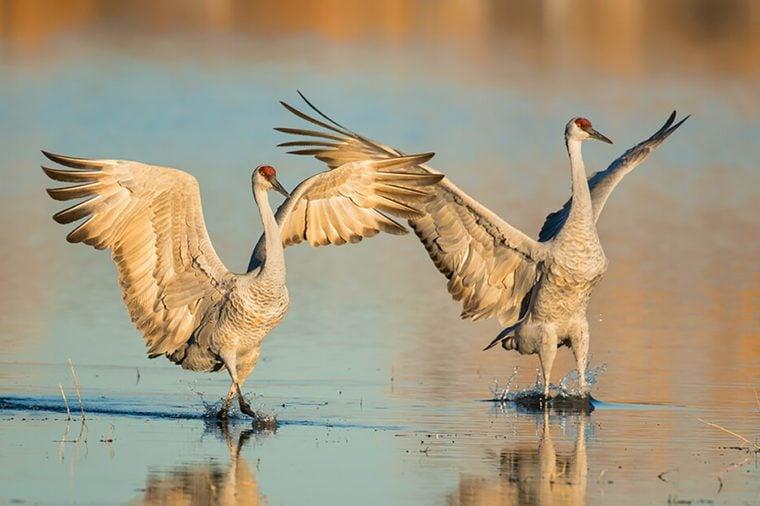 Monogamous animals cranes mate for life