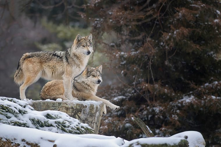 Monogamous animals wolves mate for life