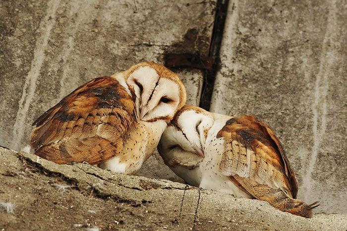 Monogamous animals owls mate for life