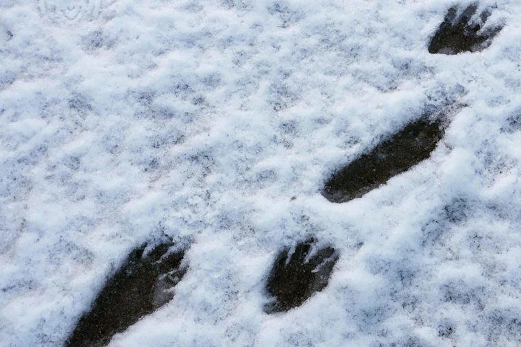 Raccoon-footprints
