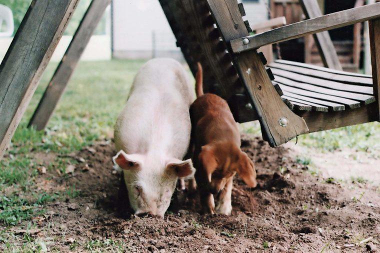 Pig-dog