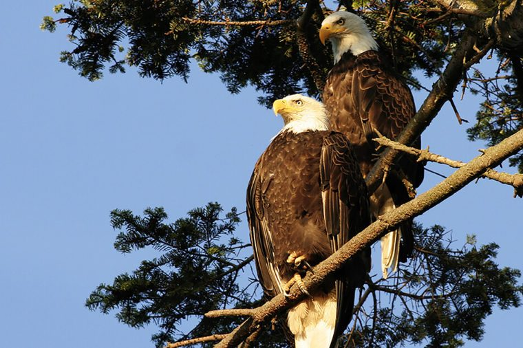 Monogamous animals eagles mate for life