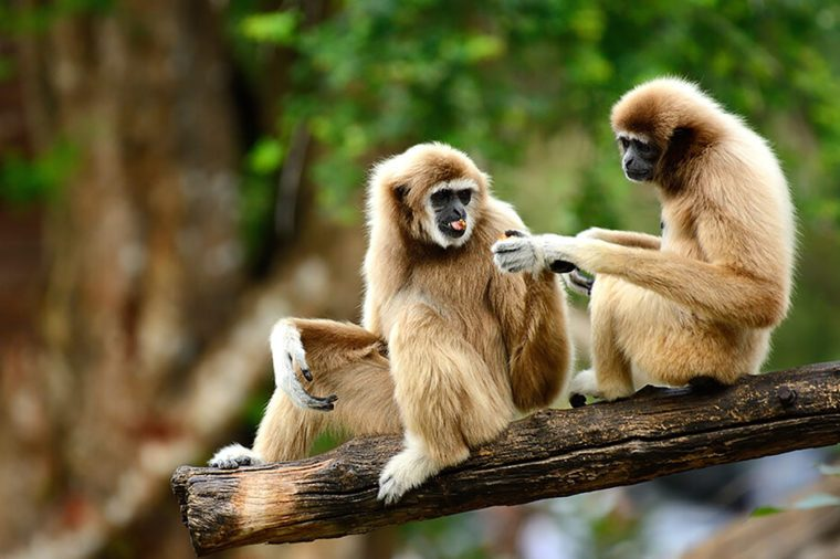 Monogamous animals gibbons mate for life