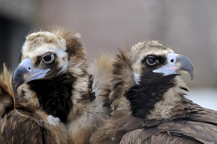Monogamous animals black vultures mate for life