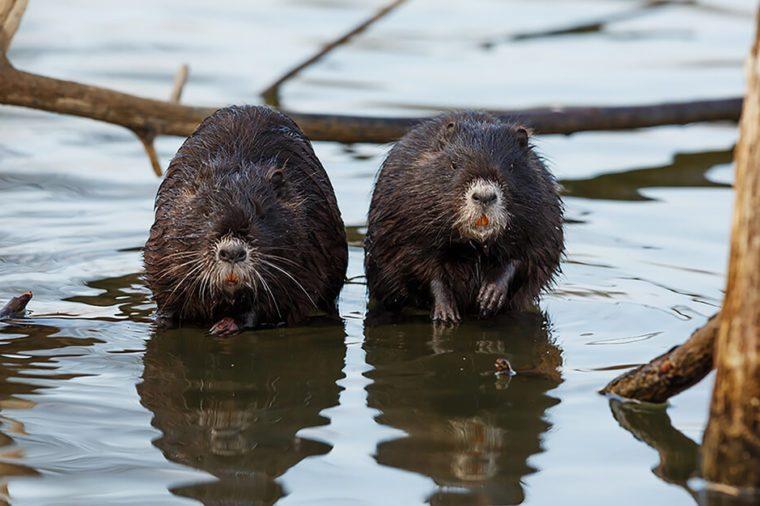 Monogamous animals beavers mate for life