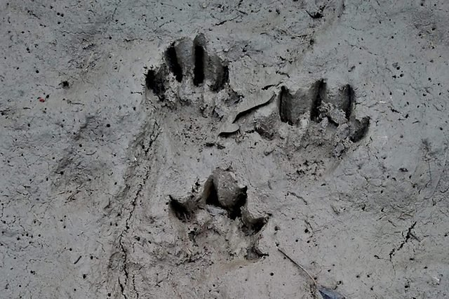 Otter-footprints