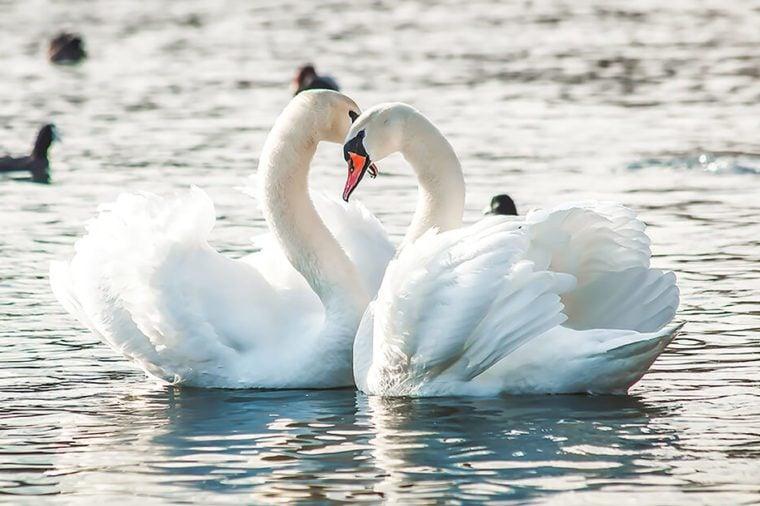 Monogamous animals swans mate for life