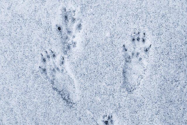 Squirrel-footprints