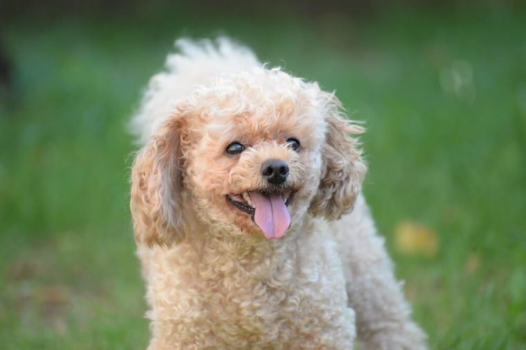 Toy Poodle portrait in the park.. French poodle play outside
