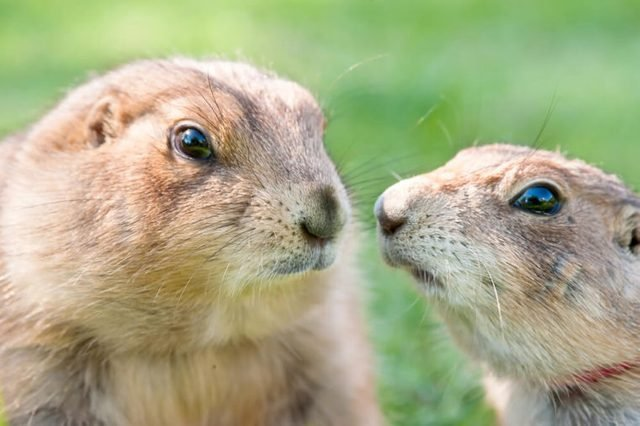 Portrait of a couple prairie dog (Cynomys ludovicianus), selective focus.