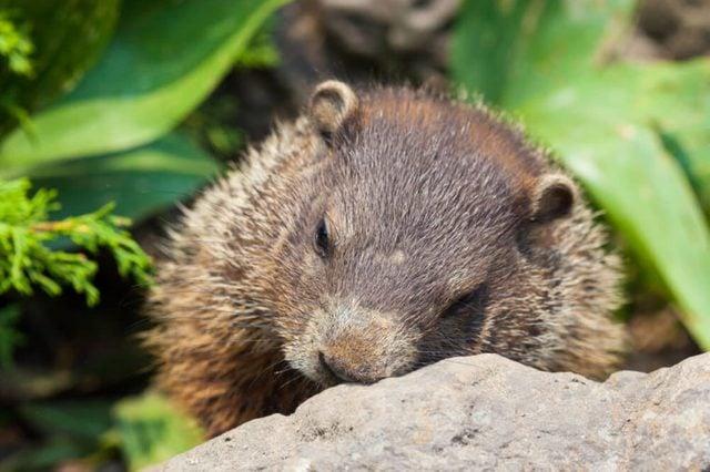 cute baby groundhot sleeping