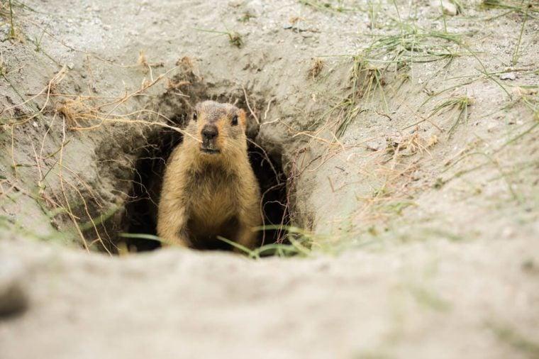 A Marmot in green field