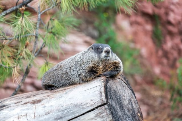 View of a groundhog relaxing on a log