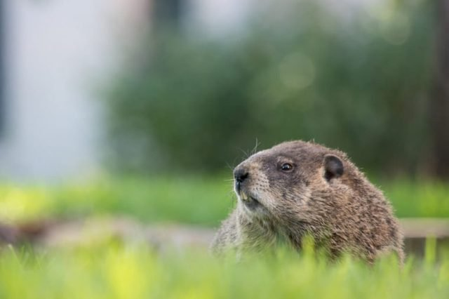 Groundhog on a beautiful evening in a park