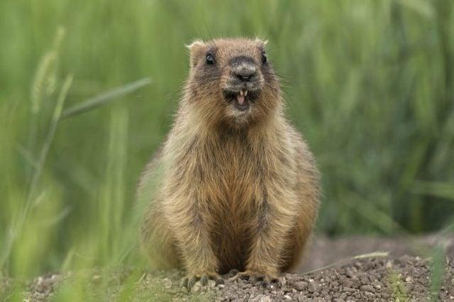Groundhog day, marmota bobak