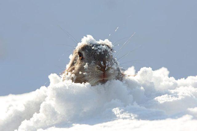 marmot in snow