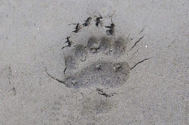 Bear-footprint