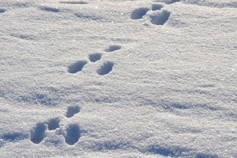Rabbit-footprints