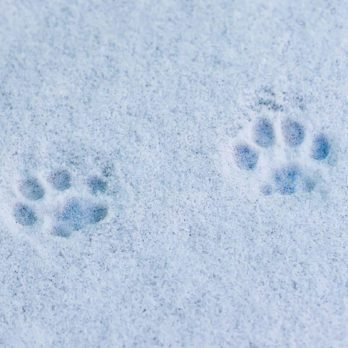 Can You Guess These Animals Based on Their Footprints?