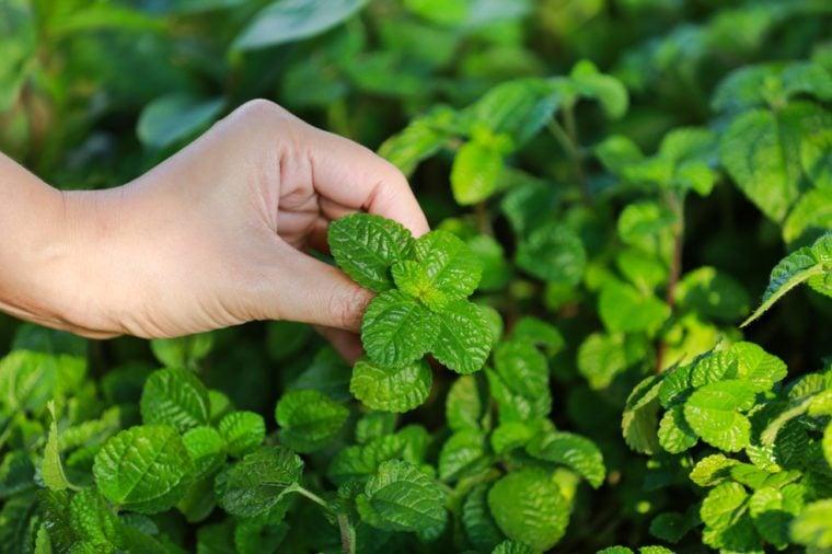 Harvesting Mint Geen Leaves Vegetable
