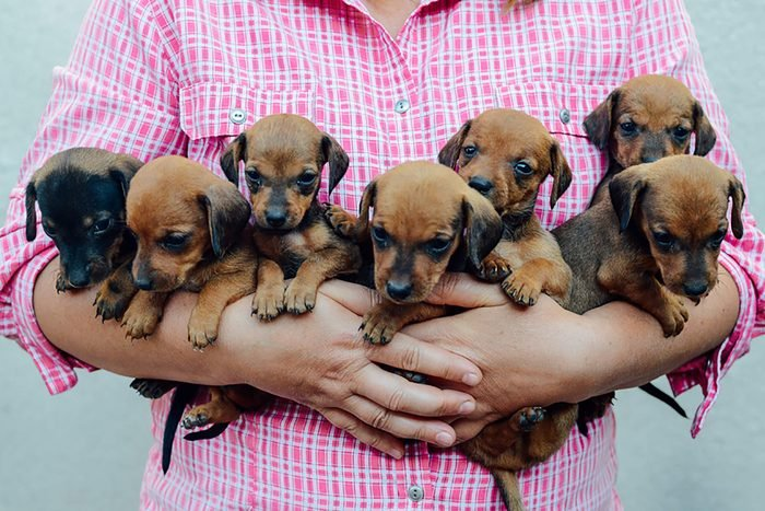 close up of person holding seven cute puppies