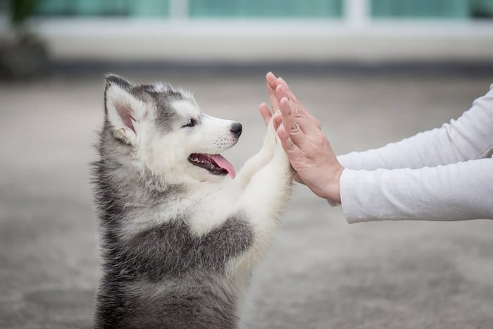 cute husky puppy gives high fives