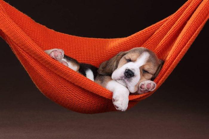 cute beagle puppy in a hammock