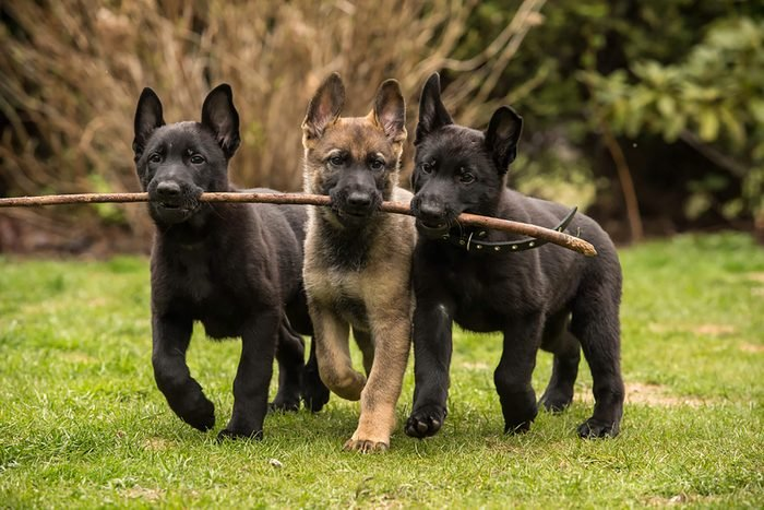 three cute pups walk toghether holding one stick