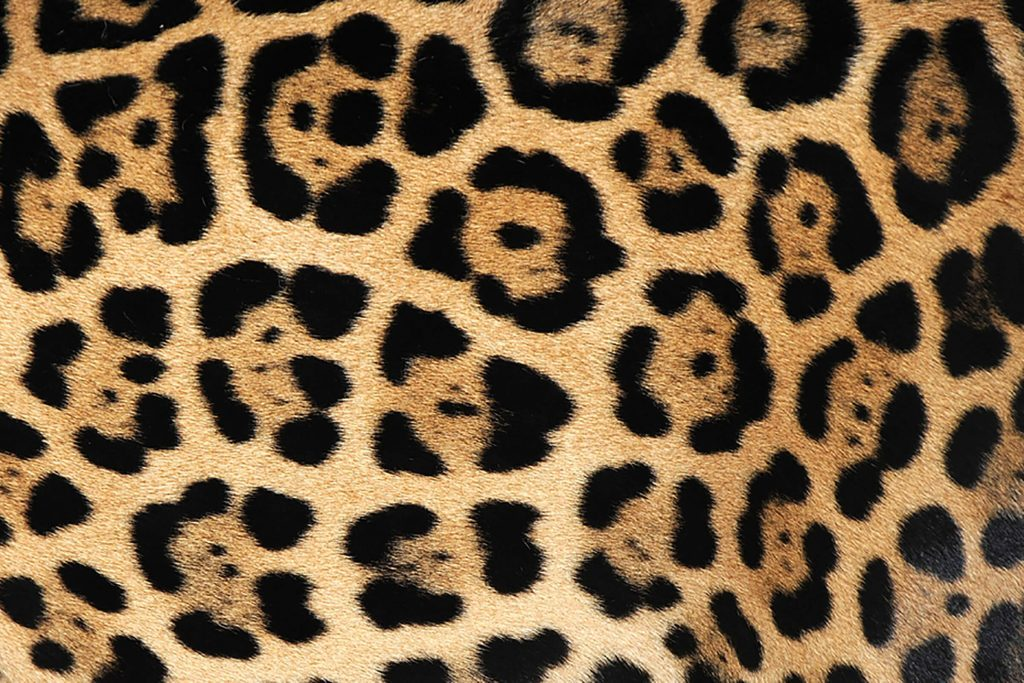 jaguar-fur