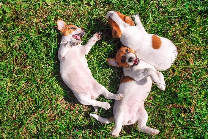 three cute puppies roll in the grass