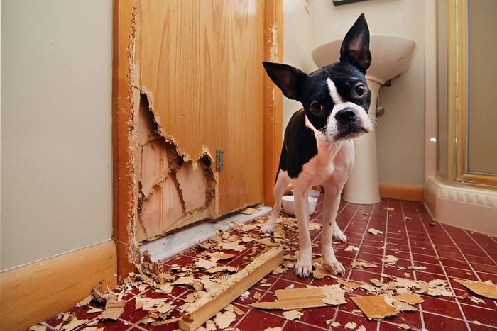 a cute puppy looks guilty next to a door he chewed and the mess that resulted
